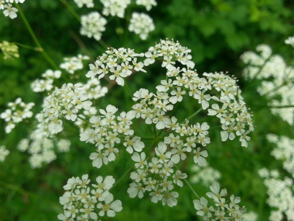 Zevenblad, inheemse plant, clarity voor jou