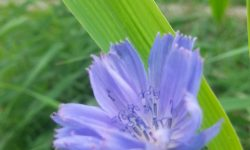 inheemse plant, chicorei