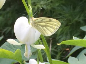 Vlinders in de tuin. Clarity voor jou! Natuurlijk tuinieren. Ecologisch tuinieren. Biologisch tuinieren.